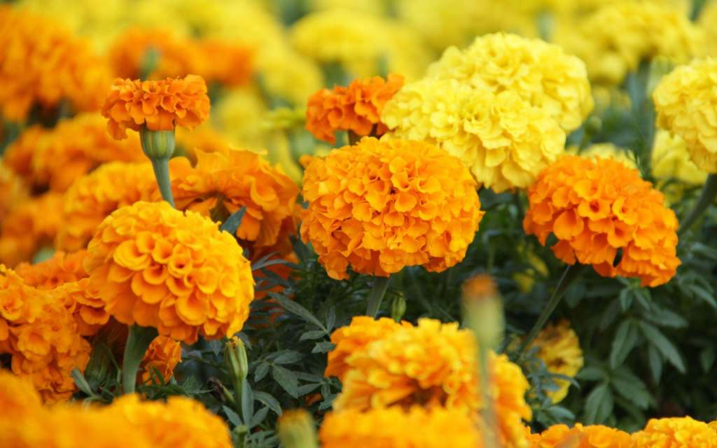 Lutein and zeaxaxanthin are derived from marigold flowers, as shown in this photograph.